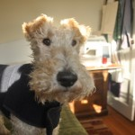 His name is Jack and he's a Wire Fox Terrier